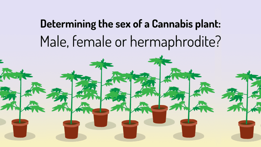 when can you tell if your plant is male or female