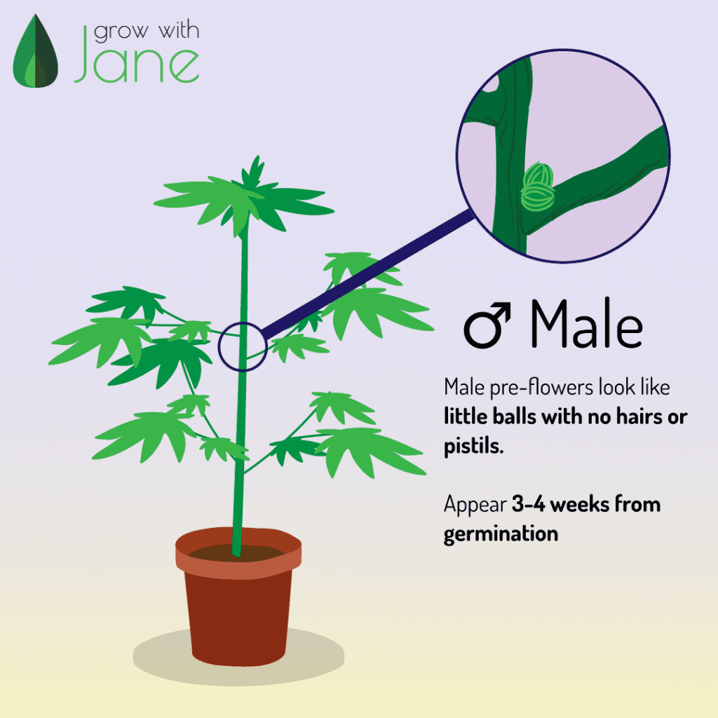 Male pre-flowers in Cannabis Plants. Little balls, no hairs or pilstils. Appear 3-4 weeks from germination.