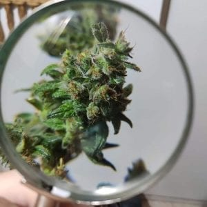 Cannabis bud harvested loupe trichomes