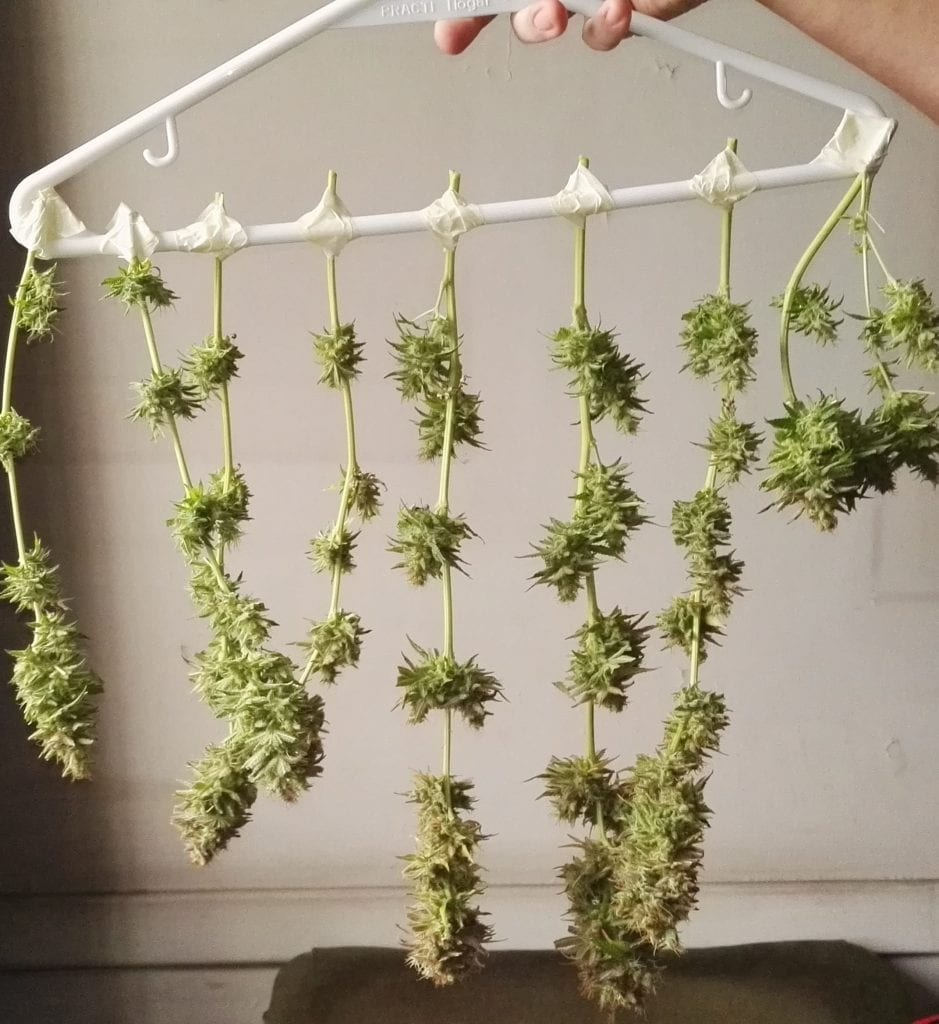 Cannabis branches buds hanging drying