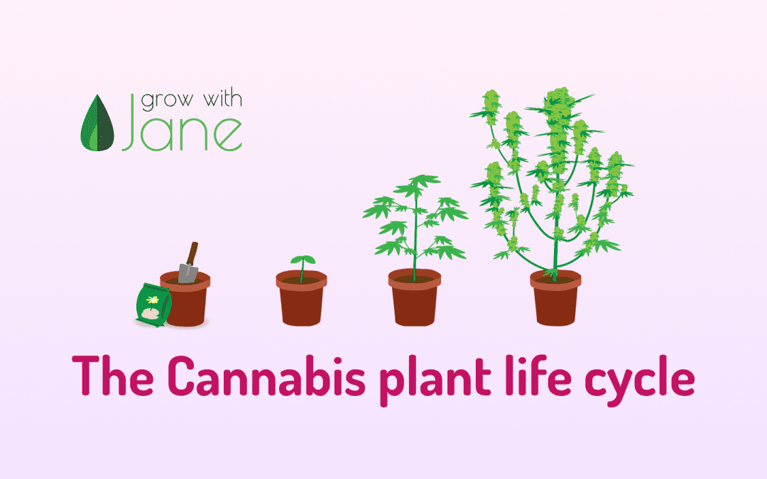 The Cannabis plant life cycle – Cannabis stages week by week