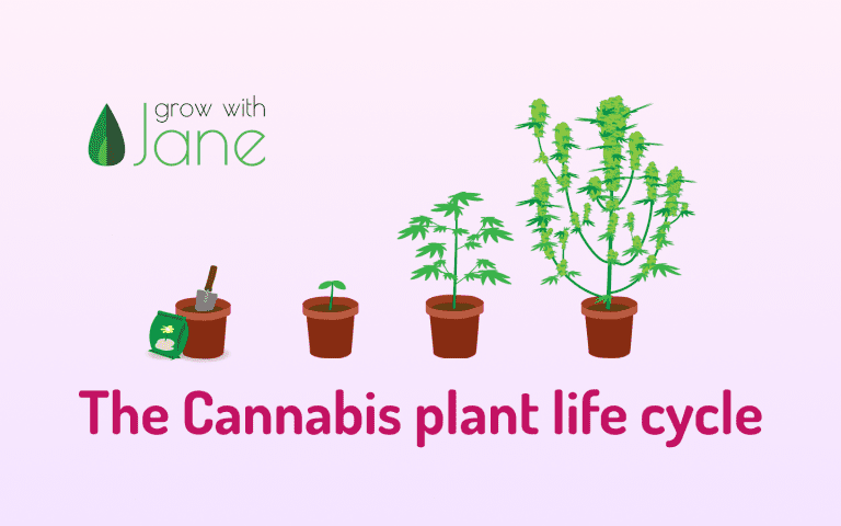 Cannabis plat life cycle stages