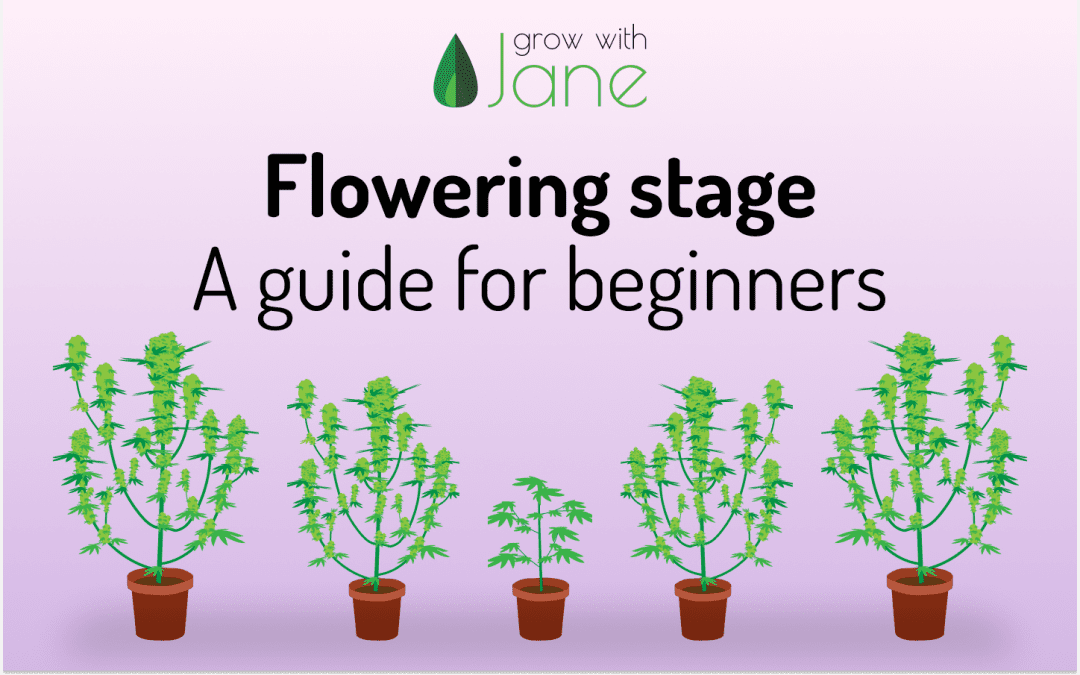 Flowering stage in Cannabis plants: a guide for beginners