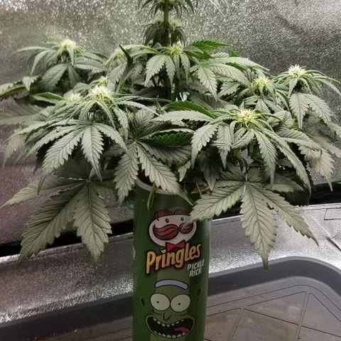 A cannabis plant growing from a chip can