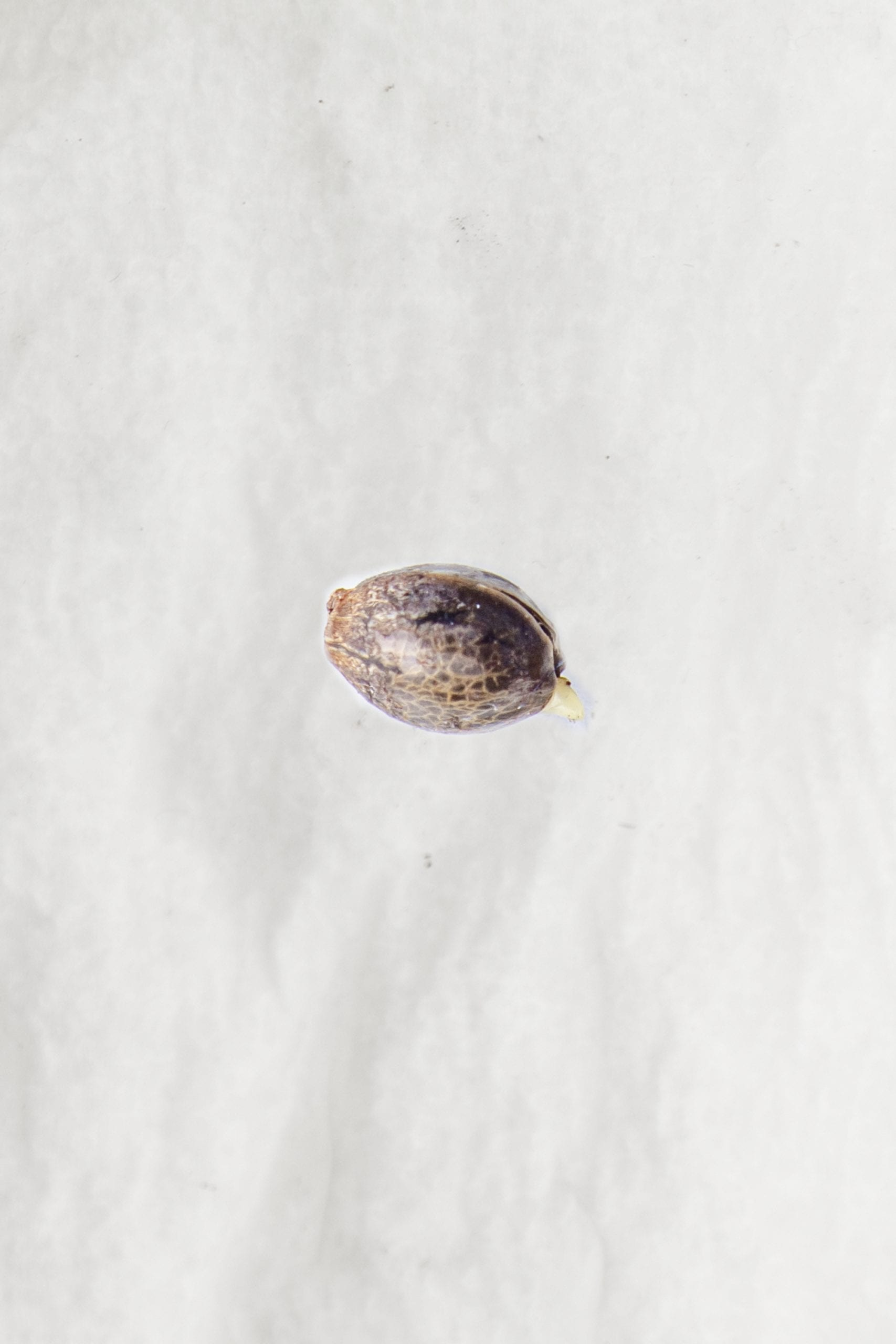 cannabis seed opening germinating