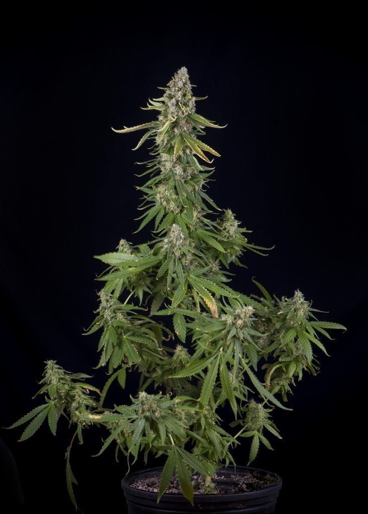 Cannabis plant ready for harvesting