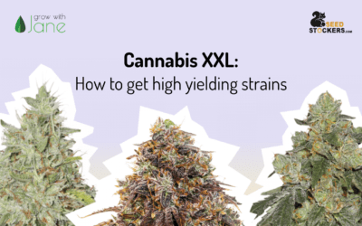 Cannabis XXL: How to get high yielding strains